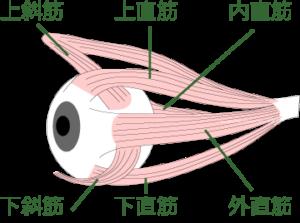 動体視力を鍛えるには眼筋を鍛える必要あり