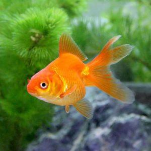 金魚の呼び名の発祥は