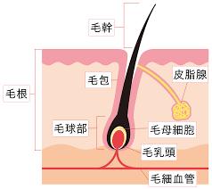 髭を抜くと毛細血管は太くなり、どんどん栄養を吸収しさらに髭を太くする