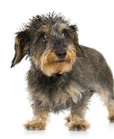 毛並みの悪い犬