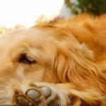 犬の抜け毛とドックフードの関係
